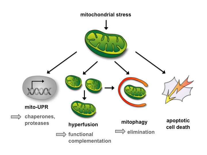 regulation of mitochondrial biogenesis essays biochem Mitochondrial quality control pathways as determinants of  between mitochondrial quality control pathways, as well as  of mitochondrial biogenesis.